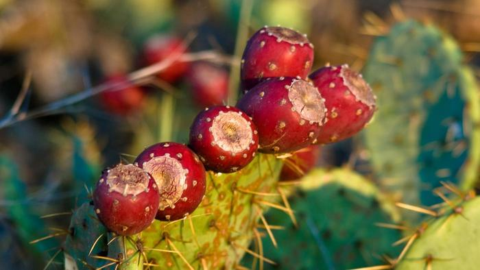 fruits of the prickly pear cactus