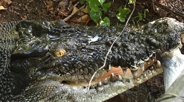 Người phụ nữ nuôi cá sấu như thú cưng trong nhà hàng chục năm trời