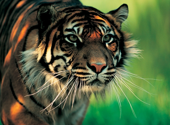 A Planet Called Earth: Sumatran Tiger