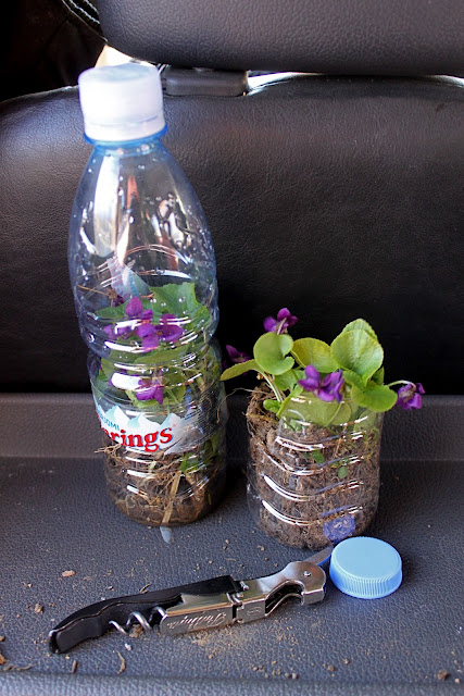 did a Blue Peter job and potted up these violets in water bottles to bring home.