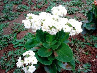 bibit-bunga-kalanchoe-putih.jpg
