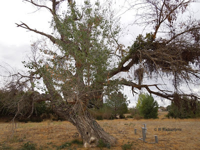 Dying Cottonwood Tree at Larry Moore Park,  © B. Radisavljevic