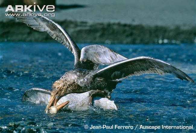 petrels fighting