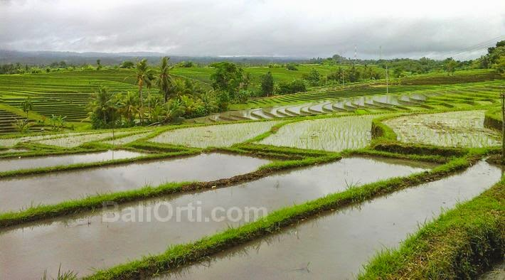 Rice field in Bali, Indonesia