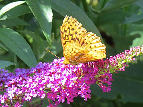 orange butterfly on purple butterfly bush