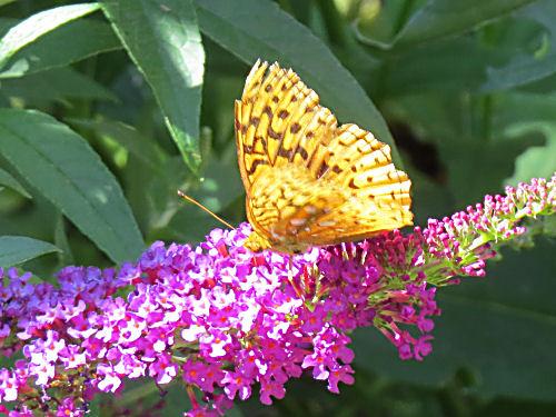 orange butterfly on purple butterfly bush