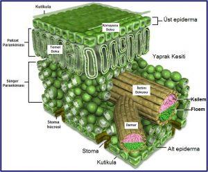 Bitkilerde Örtü Doku Nedir?