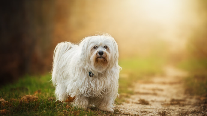 Wallpaper: Havanese Dog Breed