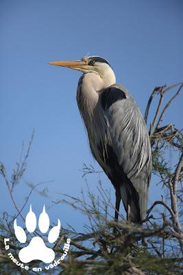 heron-cendre-parc-ornithologique-pont-de-gau