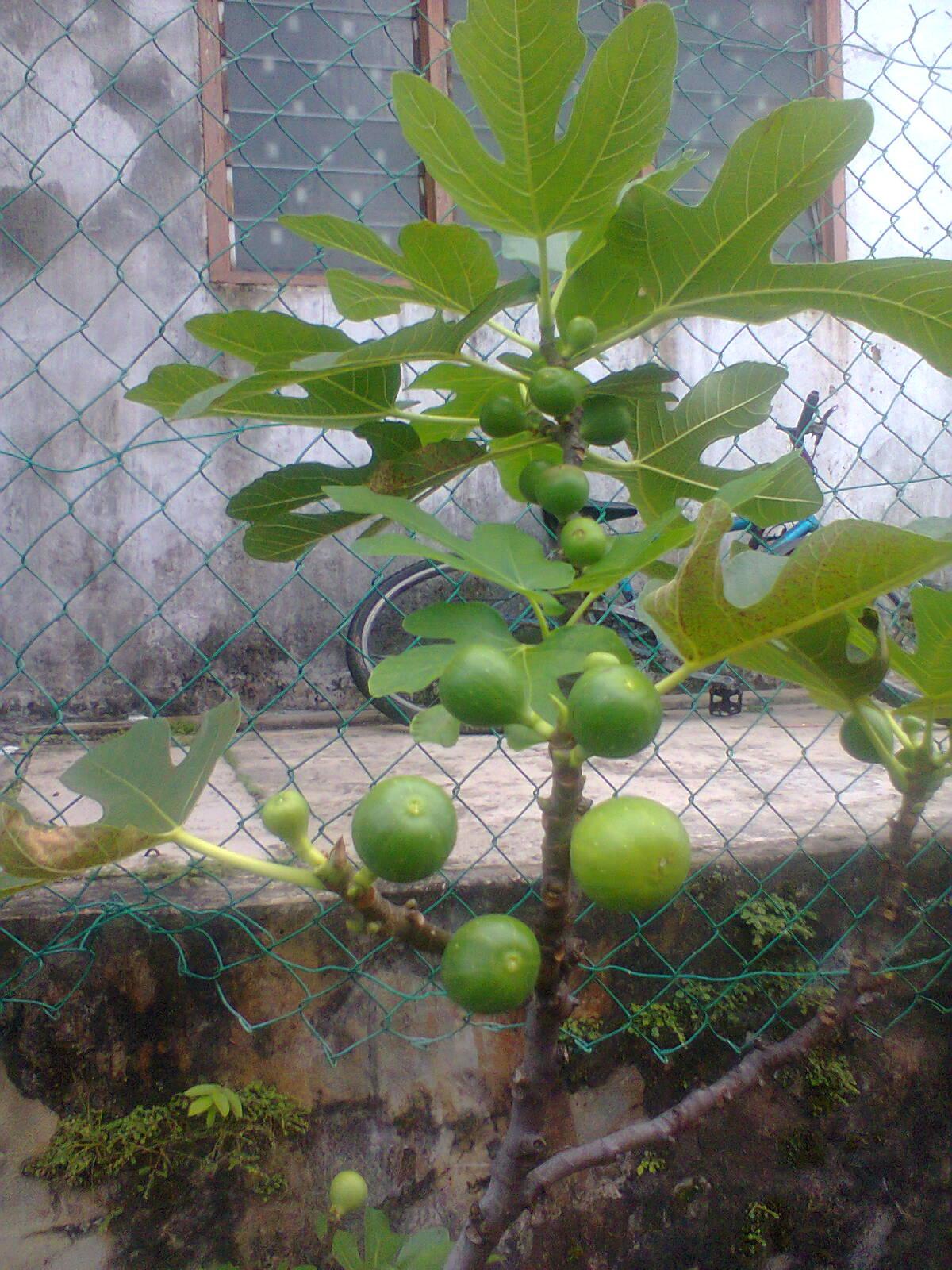 TaMAn TEmPErATe Pokok Buah Tin  Buah Fig  Buah Ara