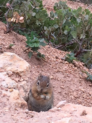 ecureuil - squirrel - tamia - Bryce canyon NP