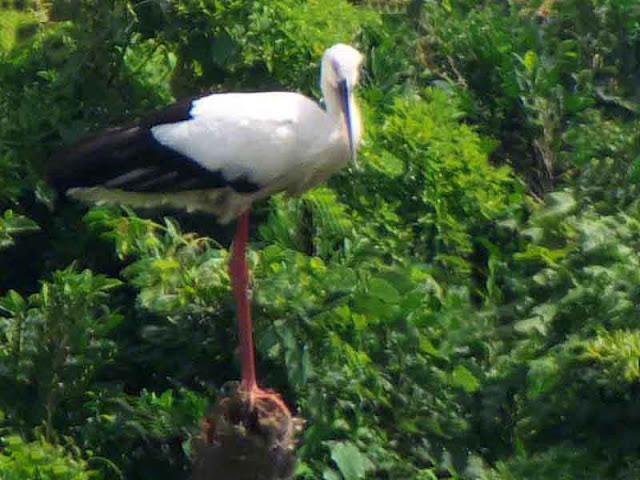 bird, stork, Okinawa
