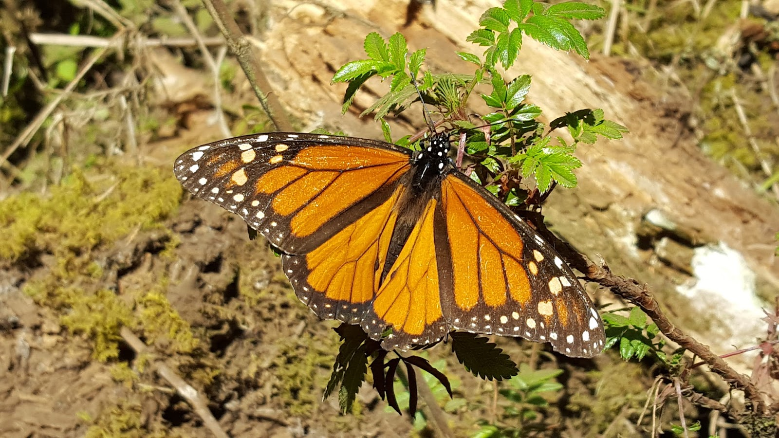 Earth and Space News: Endangered Eastern Monarch Butterflies Need ...