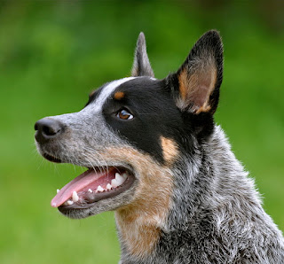 Australian Cattle Dog-dogd-dog breeds-pets
