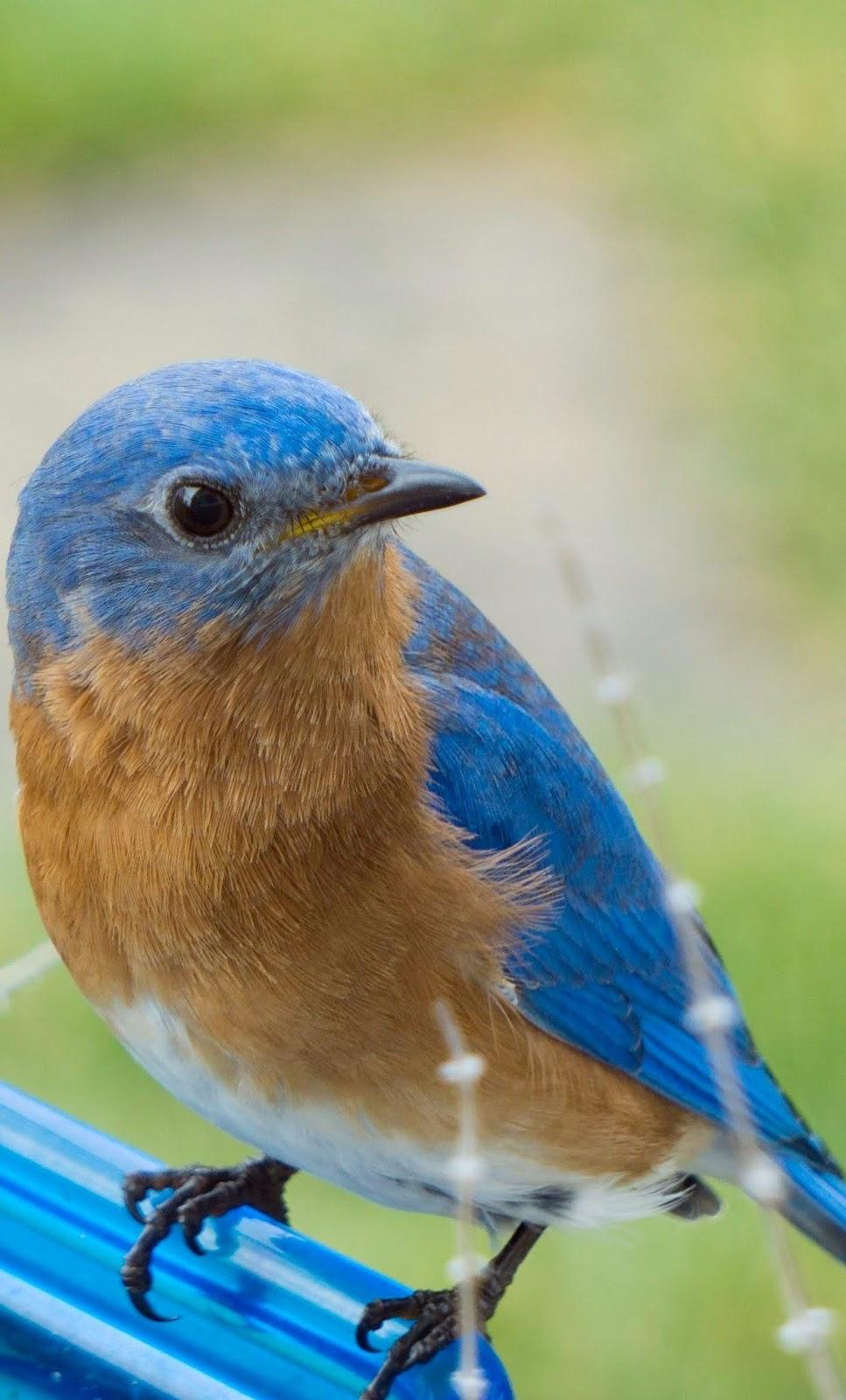 A bluebird up close.