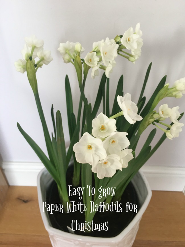 Easy-to-Grow-paper-white-daffodils-for-christmas-text-over-image-of-flowers-in-bloom