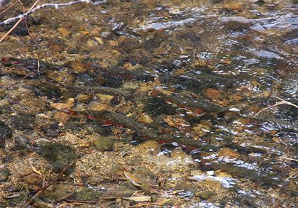 some trouts in river stream