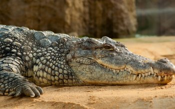 Wallpaper: Nile Crocodile