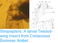 http://sciencythoughts.blogspot.com/2018/12/strepsiptera-larval-twisted-wing-insect.html