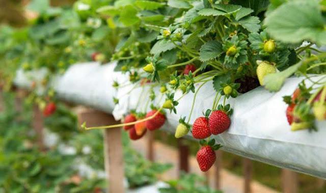 Lagitnya Kebun Strawberi Ciwidey
