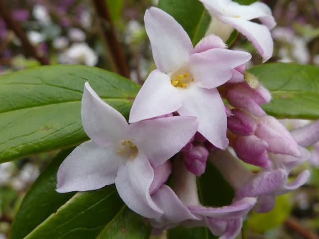 Close up image of the lilac blooms of Daphne bholua 'Jacqueline Postill'