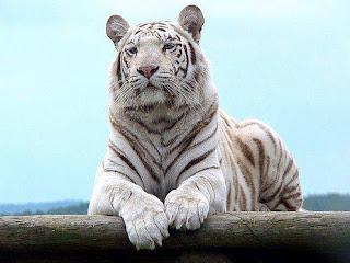 Tigre Blanco 003
