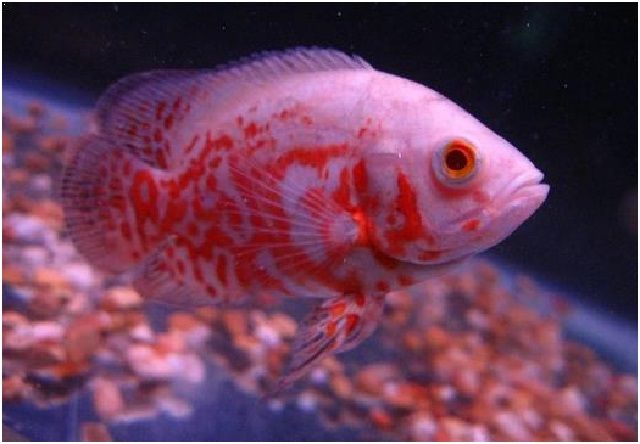 Gambar Ikan Hias Cantik – Ikan Oscar