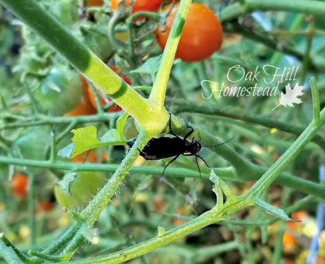 Blister beetle on tomato plants