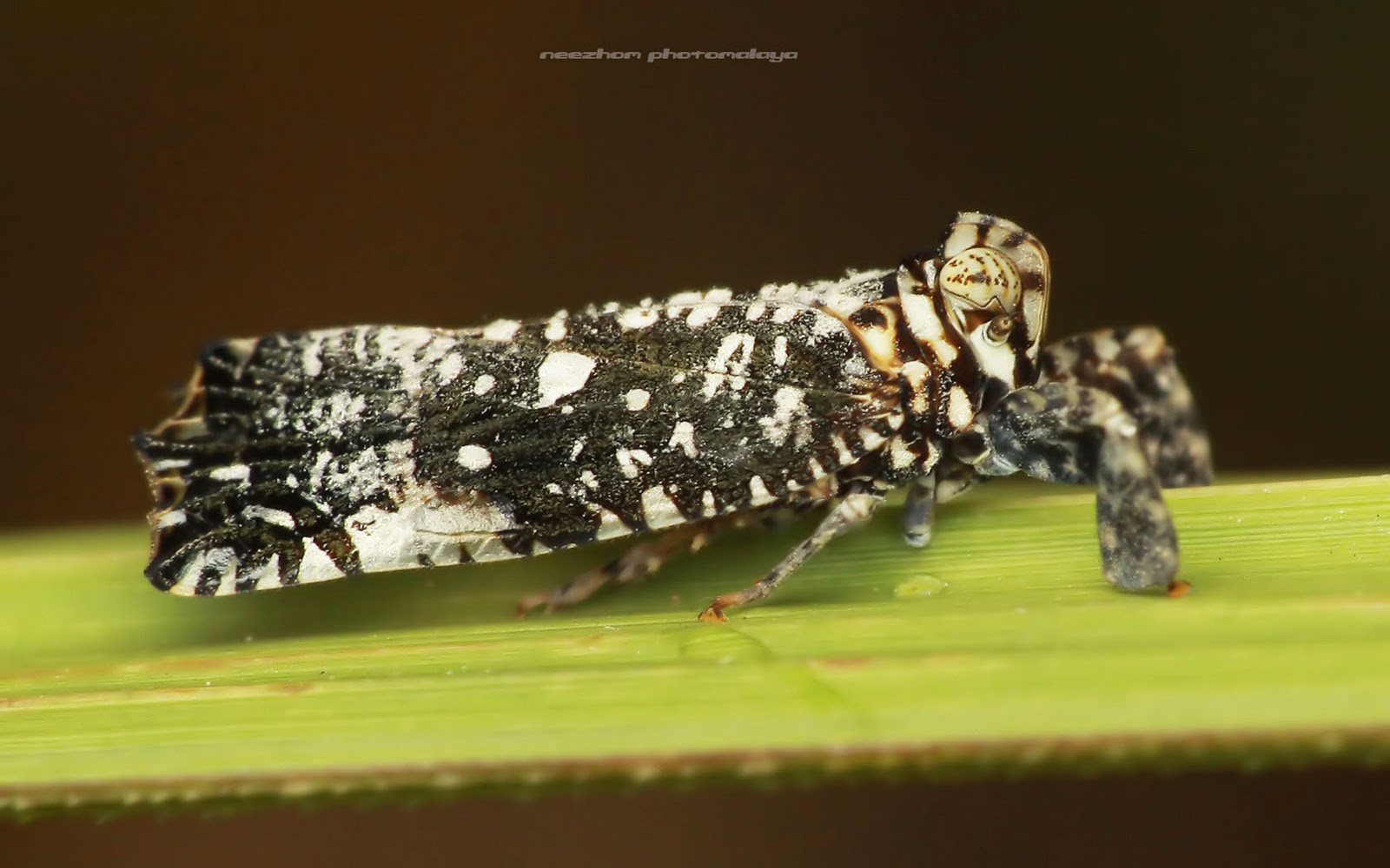 Tiny black Planthopper with white dots