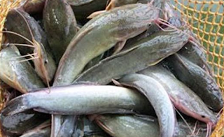 Jenis Penyakit Pada Ikan Lele Dalam budidaya ikan lele selesai hidup ikan Kabar Terbaru- JENIS PENYAKIT PADA IKAN LELE