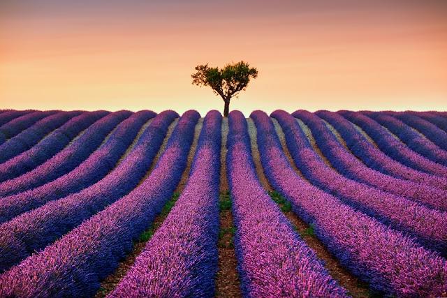cánh đồng hoa oải hương đẹp nhất thế giới 22