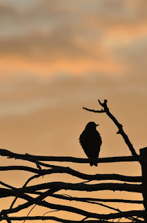 Starling at sunset, Cambridgeshire