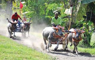 All About Negara Bull Race In Bali