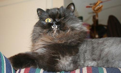Gambar Kucing Lucu Bergigi Taring Drakula