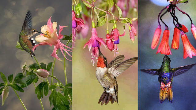 Colorful Hummingbirds sipping flower juice while flying