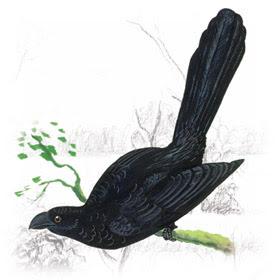 Anu Preto (Crotophaga ani)