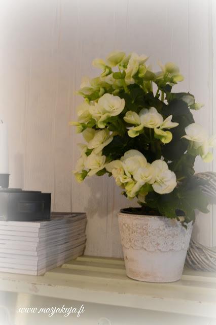 maalaisromanttinen begonia kukka