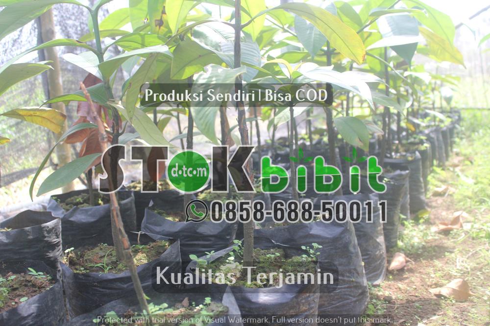 "Klon Durian Komersial  Introduksi dari Malaysia "" Musang King, D-24, Duri Hitam, Ochee ""     berkualitas     berkualitas"
