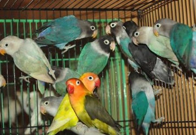 Gambar Burung Love Bird Dan Namanya