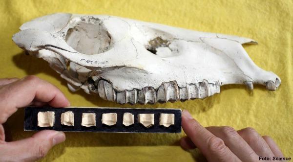 Um estudante de pós-graduação encontrados os fósseis de animais de pequeno porte nos Estados Unidos - ele viveu 65 milhões de anos atrás e parecia um rato