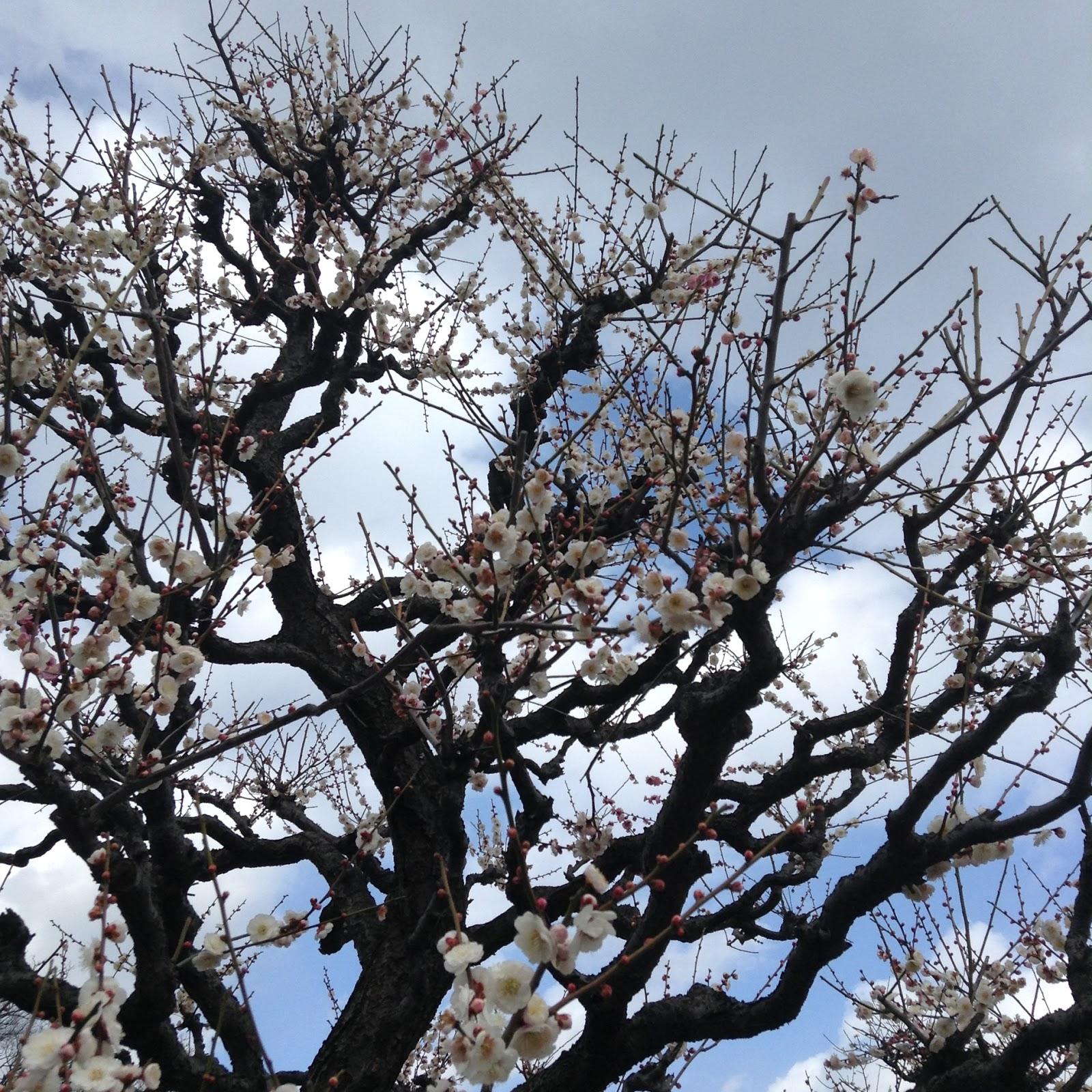 Plum blossom Osaka Castle