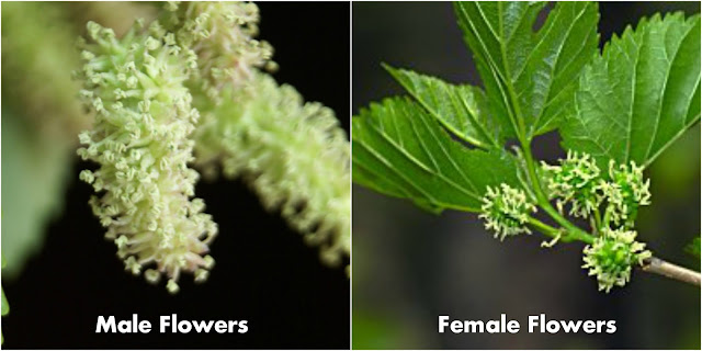 Mulberry_Male_and_Female_Flowers.jpg