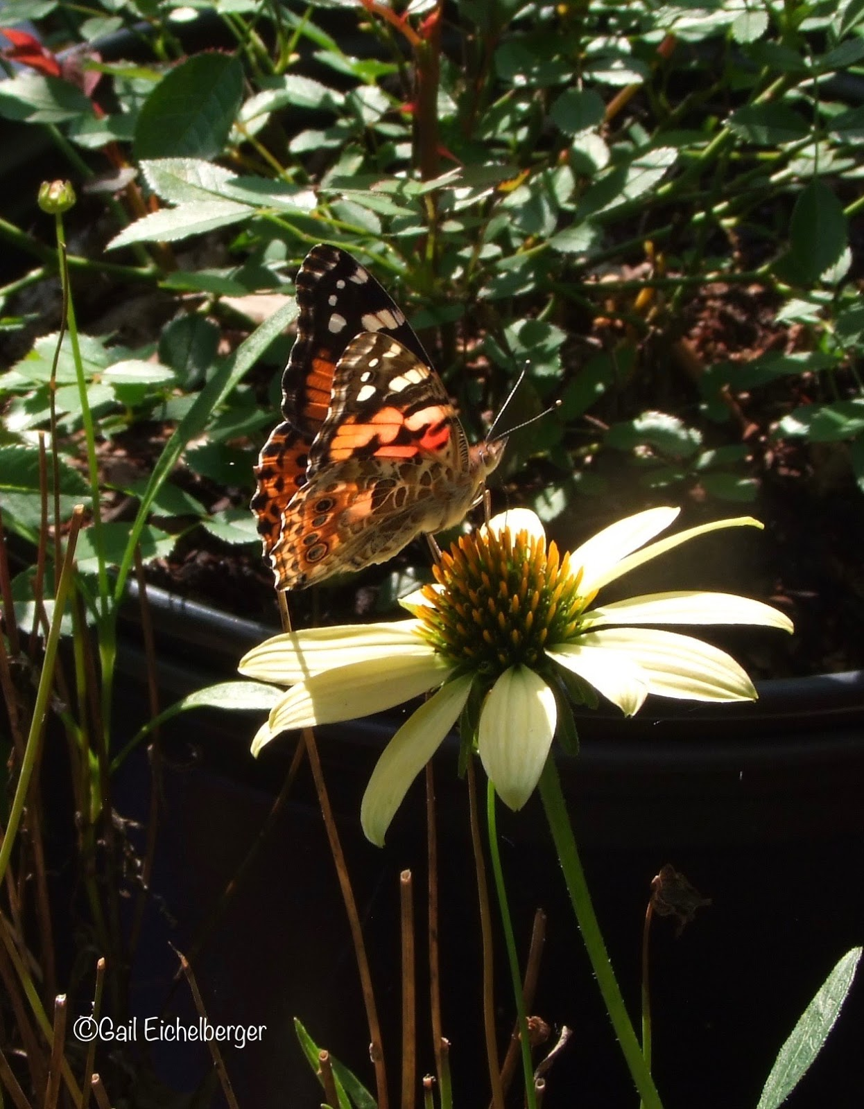 clay and limestone: a painted lady in the garden
