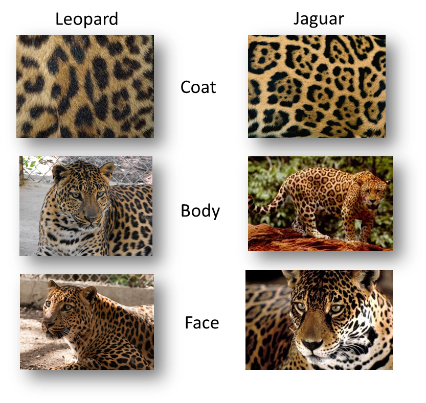 Leopard V Jaguar: Has Anyone Seen My Glasses?: Jaguar