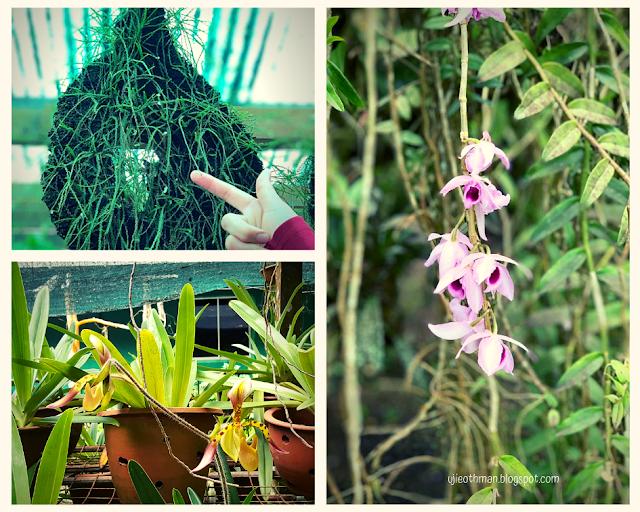 orkid taman pertanian sabah