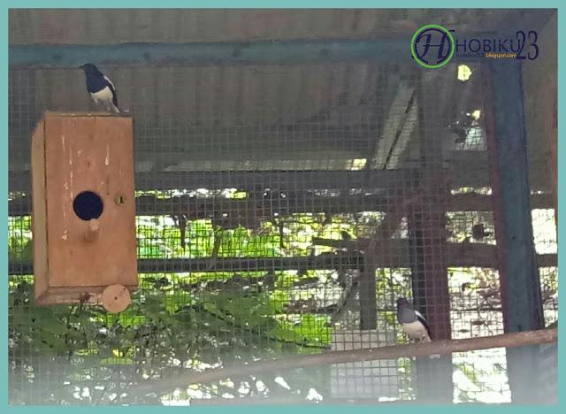 burung kacer ini juga termasuk burung hias terlihat dari warna bulunya yang indah Cara Berternak Burung Kacer Bagi Pemula