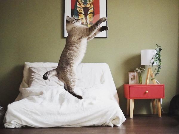 張り切ってジャンプするシャムトラ猫