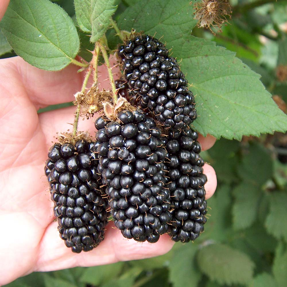 Fruit Warehouse: Blackberry ( Rubus argutus )
