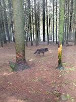 Un loup en liberté