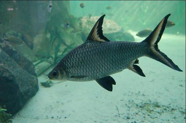 Jenis dan Harga Ikan Bala Shark Serta Cara Merawatnya